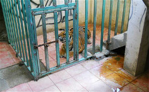 A tiger was found in a cage in a room of an abandoned house by Mexican authorities. The tiger has been moved to a local zoo while police conduct an investigation.
