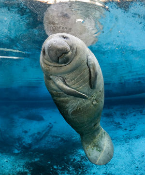 Reaching weights as high as 3,500 pounds, manatees make a home where there are plentiful sea grasses and freshwater from estuaries and slow-moving rivers.