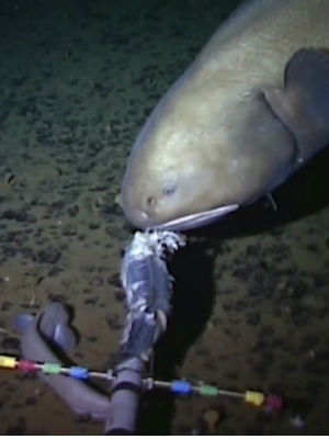 Amazing new fish discovery found in mariana trench green news scientists at the university of aberdeen in the united kingdom think they may have discovered a sciox Images