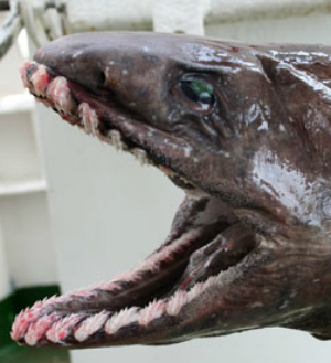 According to South East Trawl Fishing Association, the frilled shark is often referred to as a 'living fossil.'