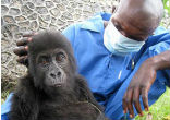 Image of Disease is not the only culprit. The great apes also are decimated by illegal trading in wildlife, deforestation, wars and other infectious diseases.