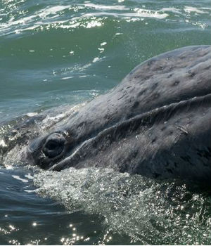 Gray whale swims from Russia to Mexico in 172 days, breaking all known records