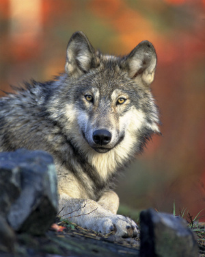 Genetic rescuing considered for shrinking wolf population on remote Michigan island