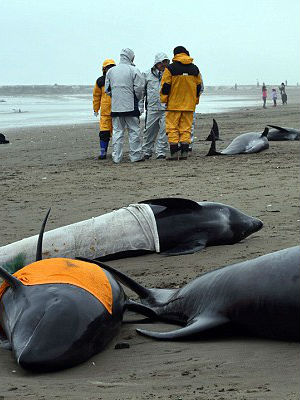 Mass whale stranding in Japan spurs fear of impending earthquake