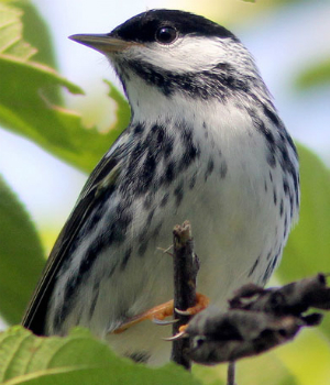 Small songbirds complete extraordinary nonstop flights across the Atlantic Ocean