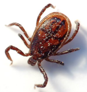 Rare deadly tick borne virus is worse than Lyme disease