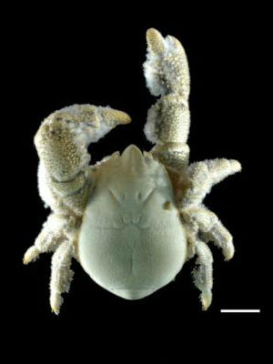 NEW FURRY CRITTER: Hairy-chested crab found trolling at over 7000 feet deep in Antarctic hydrothermal vents identified