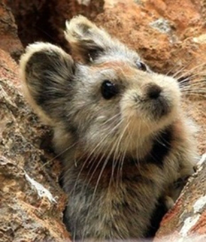 The Chinese Ili Pika: Mysterious rare Chinese animal faces extinction after people demand for its domestication