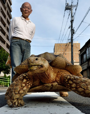 19-year-old GIANT TORTOISE takes a stroll through the streets of Tokyo