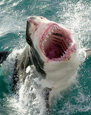 Junior lifeguard competition cancelled after 15 great white sharks spotted swimming near shore in California beach