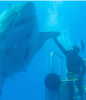 Is 'Deep Blue,' the largest great white shark ever filmed?