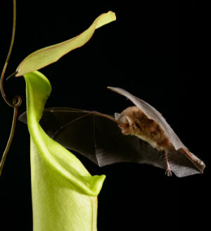 Carnivorous plant quits insect-killing ways to become 'bat landlord'