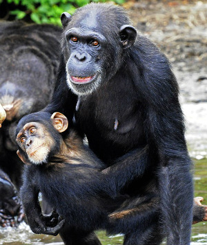 Medical chimps abandoned in the jungles of Liberia, left to starve and die