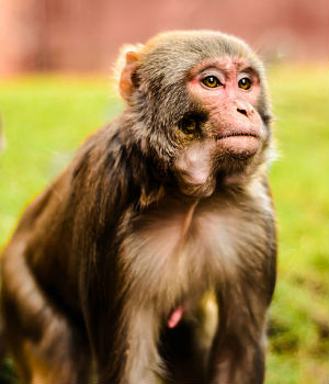 AIDS vaccine in monkeys shows success - but doesn't necessarily translate to human use