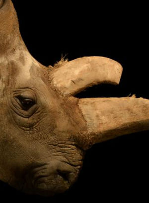 After zoo death, only four white rhinoceros left on Earth