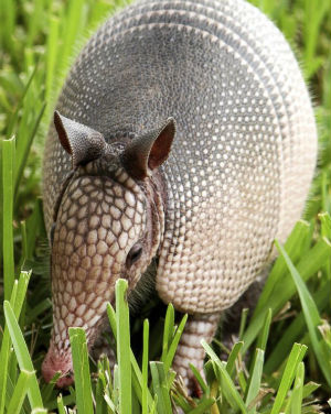 Human contact with armadillos blamed for surge in leprosy cases in Florida