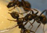 Image of It was also learned that the infected ants would also either choose to eat the poison as often as normal food, or only a quarter of the time, showing that the ants were