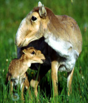A shocking 60,000 endangered antelope deaths reported in Kazakhstan