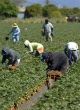 Image of Workers harvest plants.