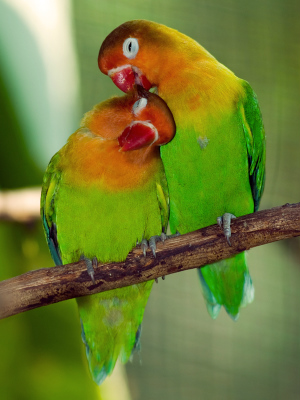 Love Birds: Research finds birds really do fall in love