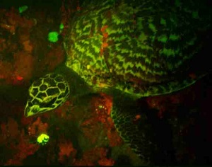 Remarkable neon-glowing sea turtle discovered