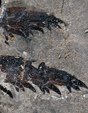 Five-foot-long 'bizarre' sea scorpion fossil discovered