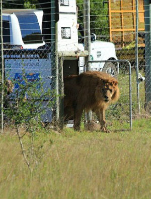Two lions experience life outside a cage for the first time in eight years