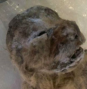 Two prehistoric lion cubs found - fur and all, in Sakha Republic