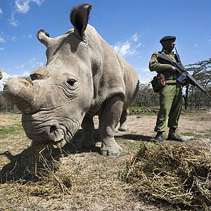 Doomsday for Rhinos: White Rhinos facing extinction - ONLY 3 remain on Earth