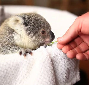Koala baby Imogen - and Internet sensation celebrates her first birthday