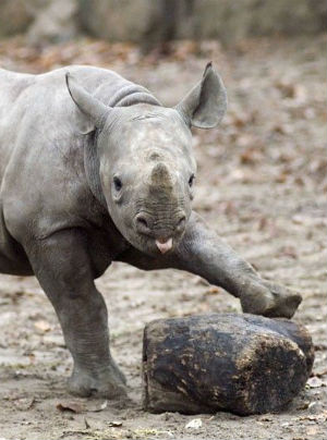 WARNING: GRAPHIC IMAGES Rhinos brutally slaughtered in record numbers - but why?