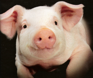 Scientists insert human genes into pigs to grow organs for transplant, but is it ethical?