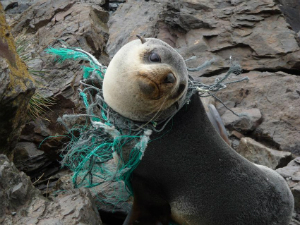 A sea lion is tangled in a net, the result of decades of human disregard for the environment.