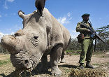 Image of It's too late, barring a scientific miracle for the northern white rhinoceros, however. The final three of this breed reside at Ol Pejeta Conservancy, a preserve in Kenya.
