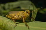 Image of When grasshoppers swarm, they become known as locusts. Their colors and behaviors change dramatically.
