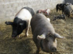 Image of Pigs like these could soon grow human organs, even brains.