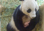 Image of Giant Panda surprises zookeepers with twins (Tiergarten Sch?nbrunn/SWNS).
