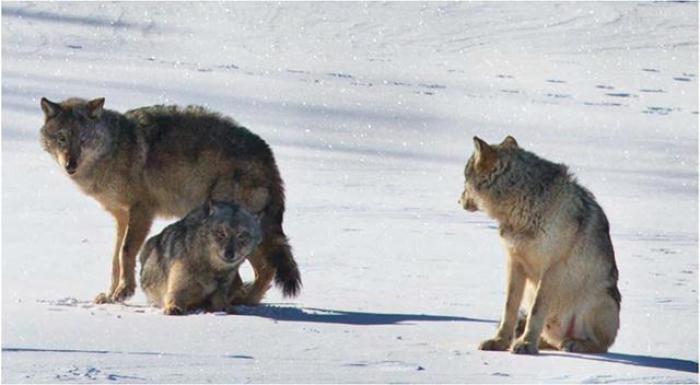 Wolves on Isle Royale