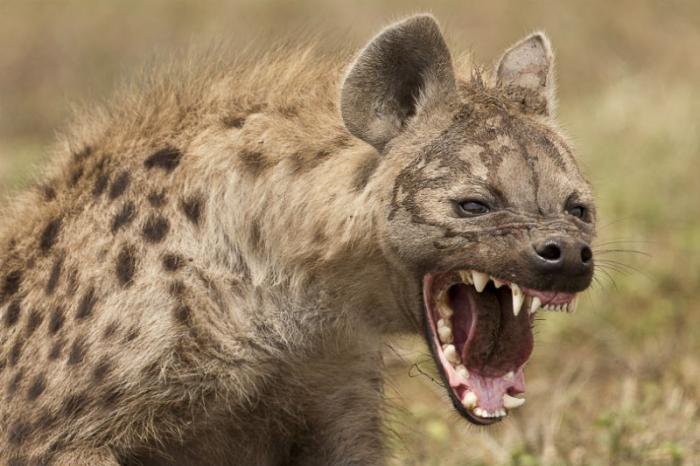 The hyena attacked as the boy slept.
