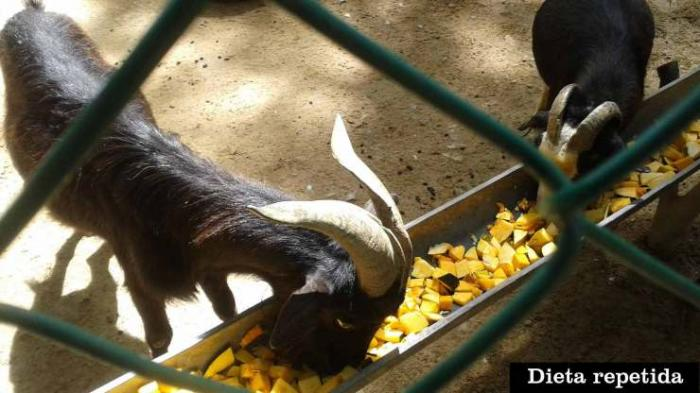 Goats eat a diet of mangoes and squash or go hungry. Zookeepers are desperate to feed their rare animals which are under increasing threat form the public.
