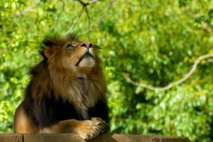 Lion praying