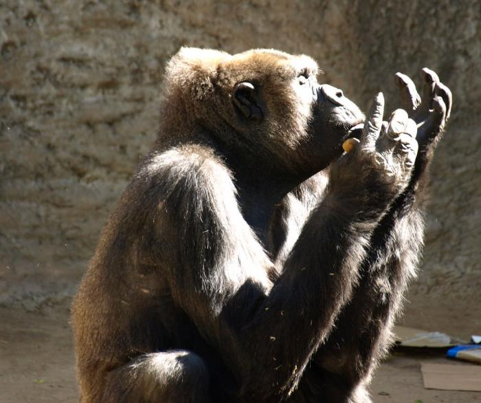 Gorilla Praying
