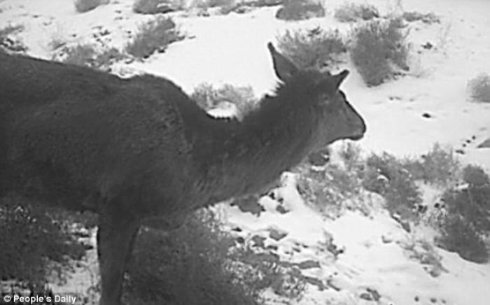 The mythical horse deer was captured on film, proving it