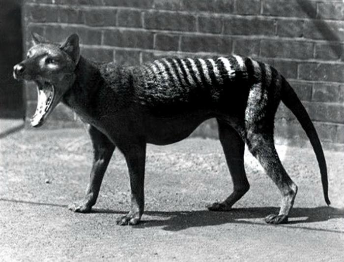 The last known Tasmanian tiger died in captivity.