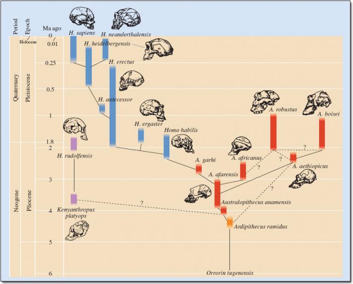 The human evolutionary tree.