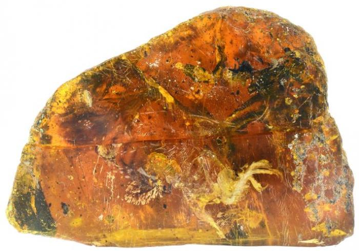 The bird encased in amber. This remarkable specimen is on traveling display.