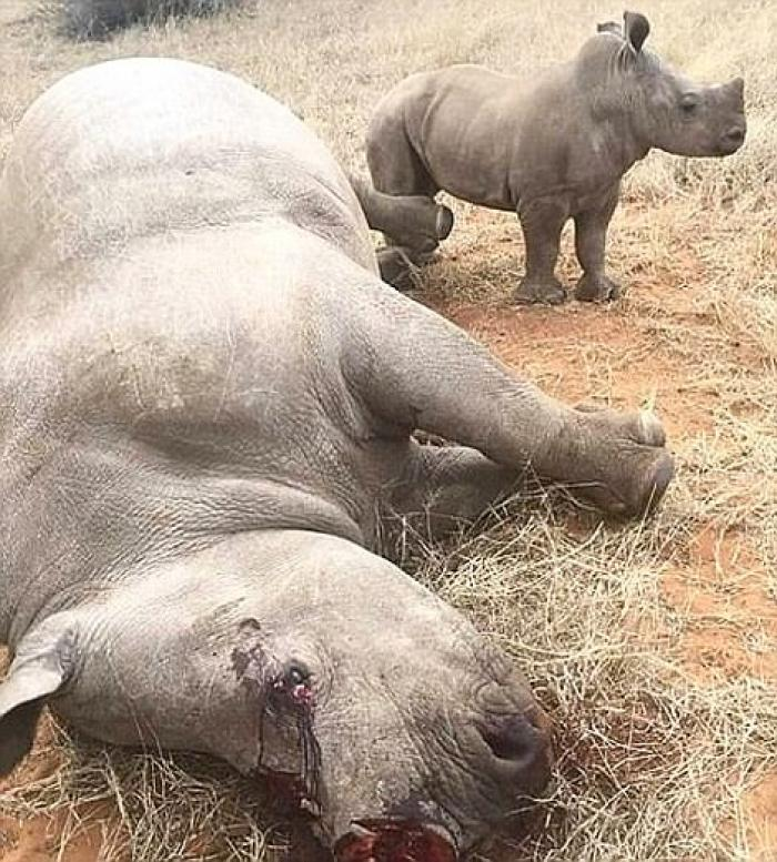 Poachers shot a rhino mother, and sawed off her horn. Conservationists took the heartbreaking photo when they arrived to rescue the orphaned babies.
