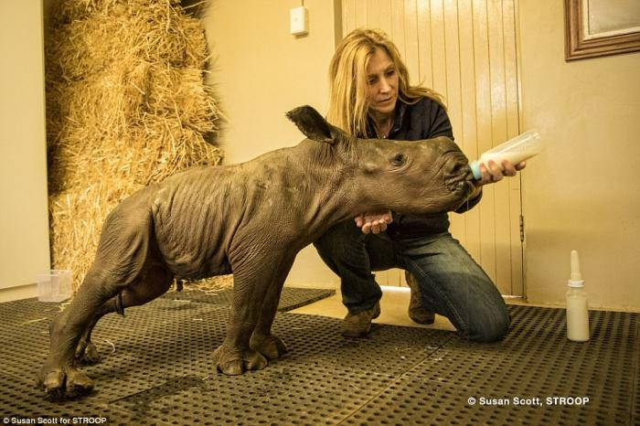 A rhino baby is hand fed by a conservationist at a sanctuary. Even in sanctuaries, rhinos are not entirely safe.