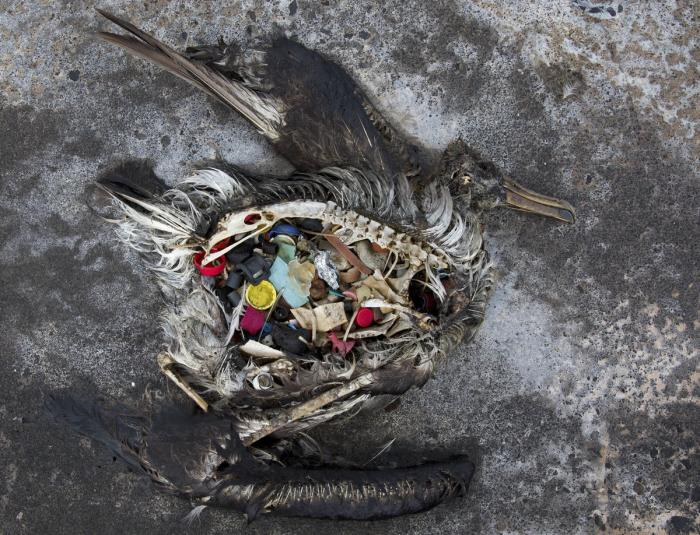 The remains of sea bird, killed by plastic ingestion.
