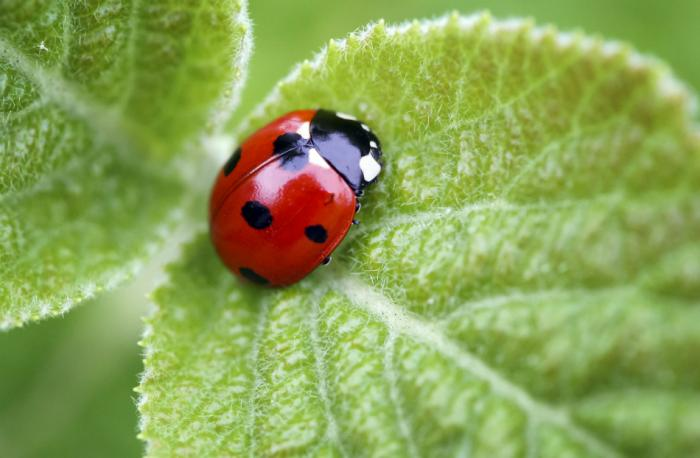 The ladybug is named for the Virgin Mary because of its color and its seven spots.